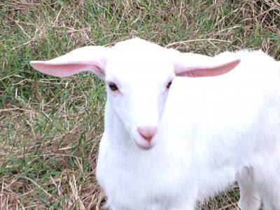 ヤギの画像 p1_11
